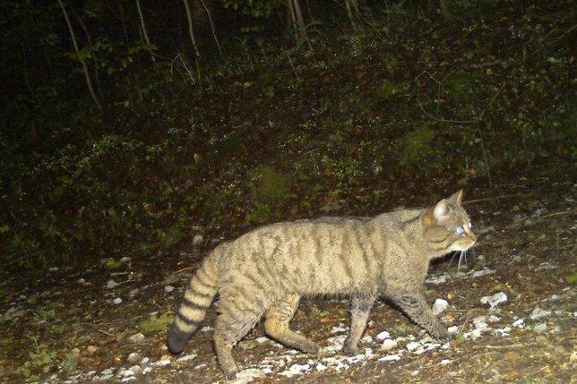 Le retour du chat sauvage à Fribourg