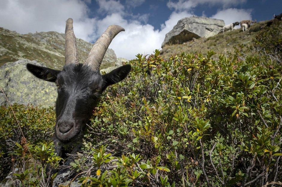 Des chèvres au service de la nature