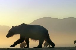 Sur la piste de l'ours d'Alaska