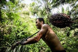 L'huile de palme: un problème marginal