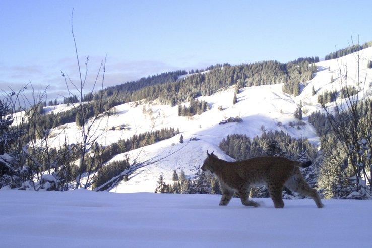 Fribourg: le lynx migre vers le plateau