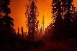 Un séquoia se consume encore après un feu de forêt en été 2020