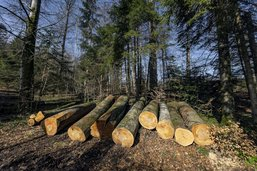 L'Etat de Fribourg explique pourquoi il faut couper des arbres