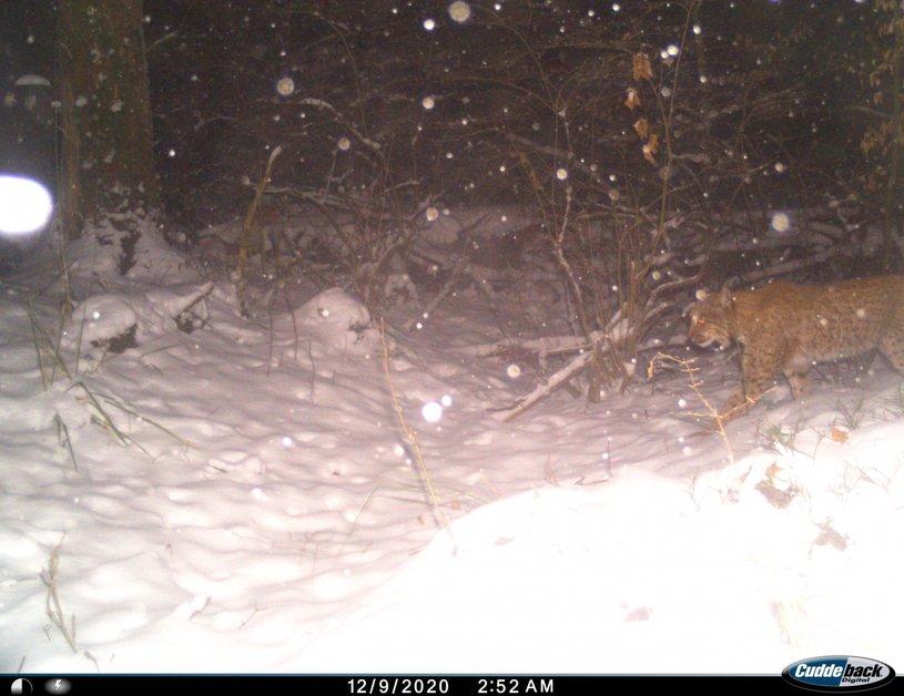 Des lynx dans le canton