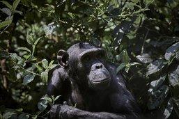 """Les chimpanzés ont des """"poignées de mains"""" propres à leur groupe"""