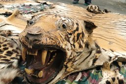 Un célèbre tueur de tigres du Bengale arrêté après 20 ans de cavale