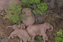Chine: des éléphants s'offrent une sieste en pleine équipée