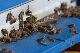 La réinsertion grâce aux abeilles