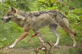 Le canton de Vaud veut tirer deux jeunes loups au Marchairuz