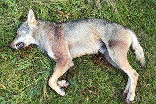 Un loup abattu dans la vallée de Conches (VS)