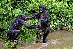 Chez les singes, on fait aussi des «courbettes»